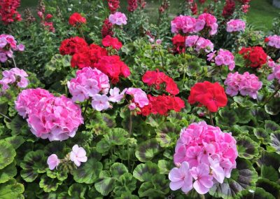depositphotos_5856658-stock-photo-red-and-pink-geranium