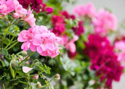 depositphotos_70122805-stock-photo-garden-geranium-flowers